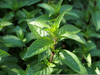 Peppermint Plant Image