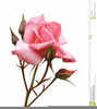 Free Rose Bouquet Clipart Image