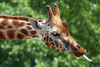 Giraffe Tongue Vtdm Image