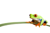 Coolred Eyed Frog Image