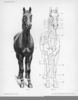 Horse Muscles Front Image