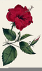 Two Bud Flower Clipart Image