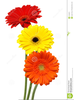 Gerber Daisy Free Clipart Image