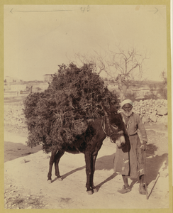 Palestine, Transportation, Donkey Carrying Load Of Roots And Twigs For Fuel Image