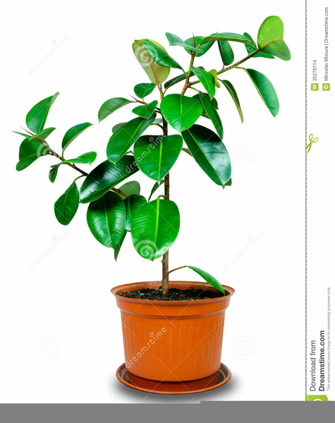 Rubber Tree Plant Clipart Free Images At Clker Com Vector Clip