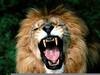African Lion Roaring Image
