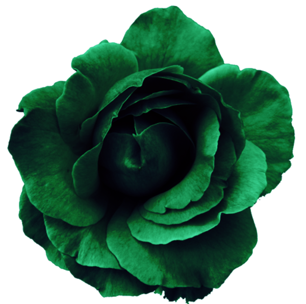 Flower Rose Green No Back | Free Images at Clker.com ...
