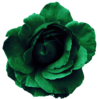 Flower Rose Green No Back Image