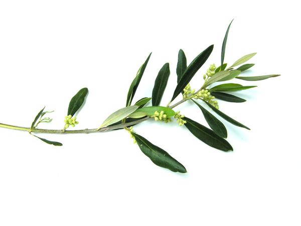olive branch free images at clker com vector clip art olive branch clipart borders olive branch clipart transparent