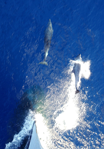 Two Dolphins Swim In Front Of The Bow Image
