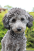 Silver Toy Poodle Image