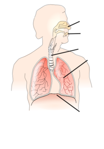 Unlabelled Respiratory System Clip Art