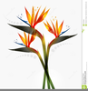 Bird Of Paradise Flower Clipart Image