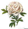 Vintage Peony Clipart Image