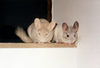 Chinchillas Image