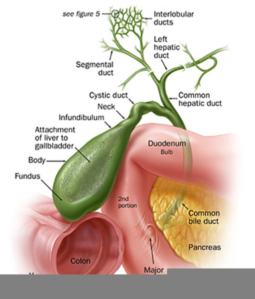 Gallbladder Anatomy Fundus Free Images At Clker Vector Clip