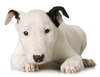 Bull Terrier Puppy Image