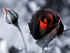 Dying Roses Black Image