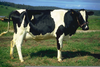 Black Holstein Cow Image