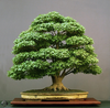 Maple Bonsai Image