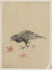 [a Bird, Possibly Crow Or Raven, Facing Left, Standing Among Leaves With Head Cocked As Though Looking Closely Or Listening] Image