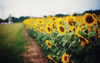 Sunflower Fields Tumblr Image