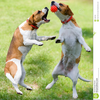 Free Clipart Dogs Playing Image