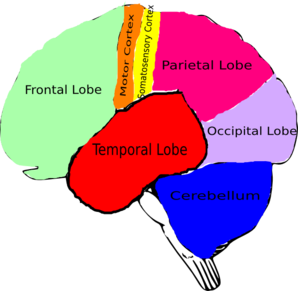 The Brain Clip Art
