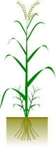 Cereal Plant Clip Art