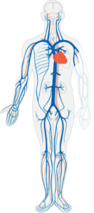 Venous System (no Labels) Clip Art