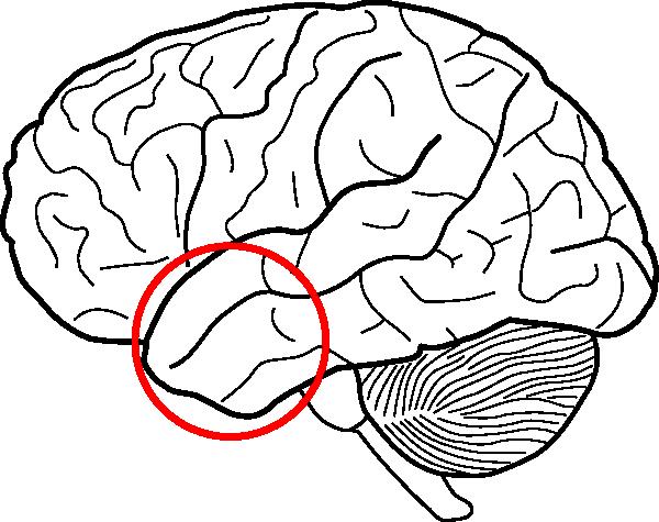 anterior temporal lobe clip art at clker com