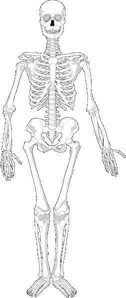 human skeleton blank clip art at clker com