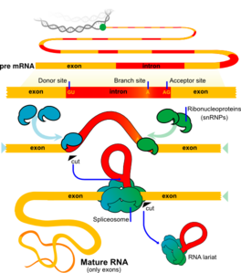 Mrna Splicing Clip Art