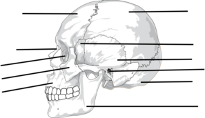 label the bones of the skull clip art at clker - vector clip, Wiring diagram