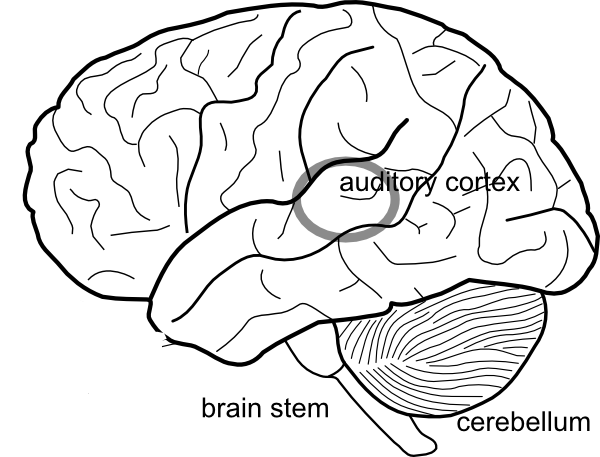 Simple brain diagram clip art at clker vector clip art online download this image as ccuart