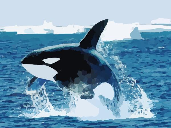 Shamu Killer Whale clip art