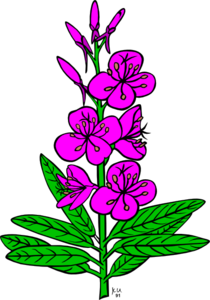 Purple Fireweed Clip Art