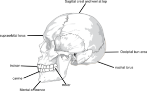 Location Of Features On Hominins Clip Art