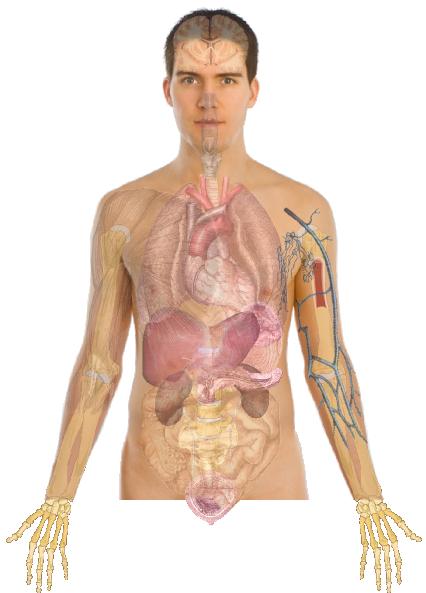 human body anatomy basics no lines clip art at clker com vector clip art online  royalty free human heart clip art black and white human heart images clipart