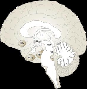 Human Brain 2 Clip Art at Clker.com - vector clip art ...