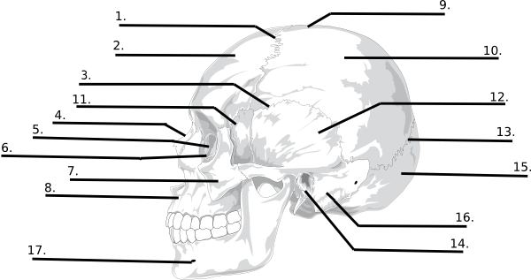 Blank skull bones quiz clip art at clker vector clip art download this image as ccuart Images
