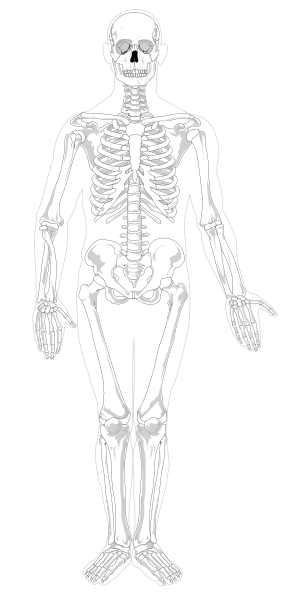 skeleton anterior clip art at clker com