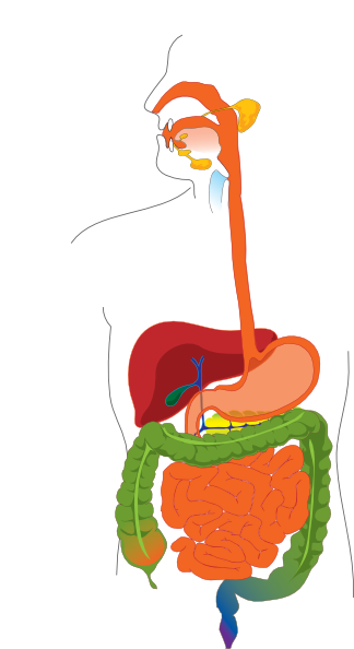 digestive system clip art at clker com vector clip art online rh clker com digestive system clipart animation digestive system clipart black and white