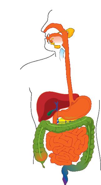 digestive system clip art at clker com vector clip art online rh clker com digestive system clipart diagram digestive system clipart diagram