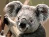 http://www.clker.com/cliparts/R/9/M/M/j/X/koala-th.png