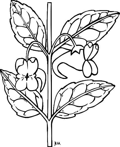 impatiens aurella plant clip art at clker com vector clip art rh clker com tomato plant clipart black and white rose plant clipart black and white