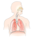 Unlabelled Respiratory System No Background Clip Art