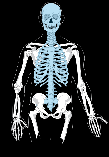 Blank Axial Skeleton clip art