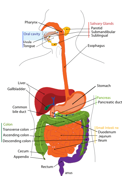 Digestive system clip art at clker vector clip art online digestive system clip art at clker vector clip art online royalty free public domain ccuart Image collections