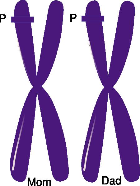 homozygous allele loci clip art at clker com vector clip art